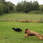 gestreckter Galopp - einfach nur dahinfliegen - was will Hund mehr!?