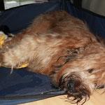 Frauchen sagt, ich gebe komische Geräusche im Schlaf von mir!? Nein, kein Schnarchen - sondern wohlige, tiefe Teddybären-Laute...