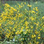 der Besenginster steht in voller Blüte