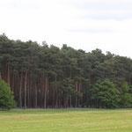 der typische Kiefernwald oder auch...