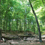 natürlicher Buchenwald