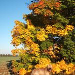 Frauchen mag die bunt gefärbten Ahornbäume