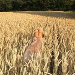 Briard im Weizen