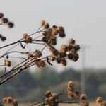 die vertrockneten Blütenstände der Disteln...