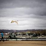 vol de cygne Versailles