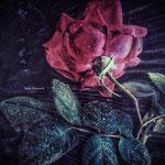 Rose de nuit