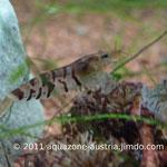 Tigergarnele Jungtier, ca. 1,5 cm