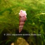 Turmdeckelschnecke auf einer Aquarienscheibe