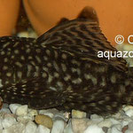 Ein ausgewachsenes Antennenwels-Männchen.