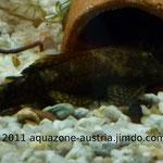 Ancistrus-Männchen vor seiner Tonhöhle