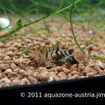Junges Tigergarnelenweibchen, trägt das erste Mal Eier, ca. 1,5 cm