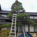 高木松の剪定