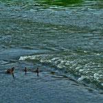 Entenfamilie mit den Jungen  beim Üben an einer etwas schwierigeren Passage in der Donau beim Kloster Weltenburg
