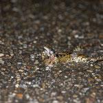 überfahrener Grasfrosch (Foto: B. Budig)