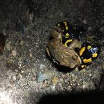 Fehlpaarung aus Erdkröte und Feuersalamander (Foto: M. Stelzer)