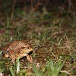 Erdkrötenpaar hinter dem Amphibienzaun (Foto: B. Budig)