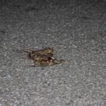 zwei überfahrene Erdkröten auf der Straße (Foto: B. Budig)
