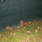 Erdkröten auf der gewünschten Seite des Zaunes (Foto: B. Budig)