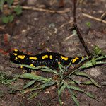 Feuersalamander (Foto: B. Budig)