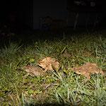 Erdkröten auf Wanderschaft (Foto: B. Budig)