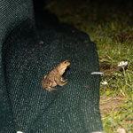 Erdkrötenmännchen hinter dem Zaun (Foto: B. Budig)