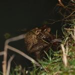 laichendes Erdkrötenpaar (Foto: B. Budig)