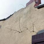 Développement d'arbustes dans une fissure