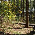 「ヤマブキ」の黄色が林の中に目立ちます。