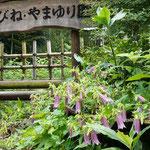 園の入り口のホタルブクロが咲きそろいました。