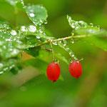 ウグイスカグラの実も雨に濡れています。