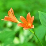 彼岸花の仲間の「キツネノカミソリ」も開花です。