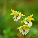 「エビネ」はいろいろの種類がありますが、よく見ると素敵な花です。