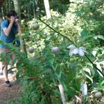 レンゲショウマは花好きのカマラマンが多く訪れています。