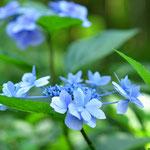 「ヤマアジサイ」はまだいろいろの花が見れます。