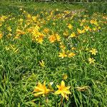 初夏の草原の花、「ニッコウキスゲ」が一斉に開花です。