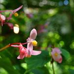 秋の花、「シュウカイドウ」も咲いています。
