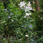 ヤマユリが開花しました。