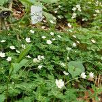 「ニリンソウ」が草地を覆い咲きます。