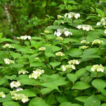 ヤマアジサイが咲きだしました。アジサイは七変化の楽しみがあります。