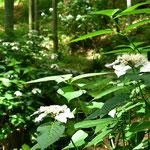林地にヤマアジサイが似合います。