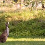 Und täglich grüsst das Känguru!