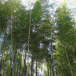 枚方・穂谷の竹林