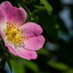 Bachblüte: Heckenrose