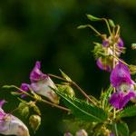 Bachblüte: Impatiens