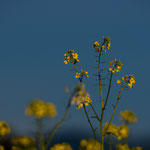 Bachblüte: Ackersenf