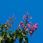 Bachblüte: Rote Kastanie