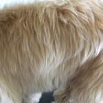 come vedi il pelo è ancora molto lungo e lanoso, il classico pelo da cucciolo