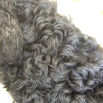 i ricci tornano tutta la vita del cane e per tenerlo pulito si deve ricorrere costantemente alla rasatura!!!