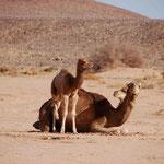 Kamele am Oued Draa
