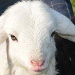 Bild zu Bauernhoftiere